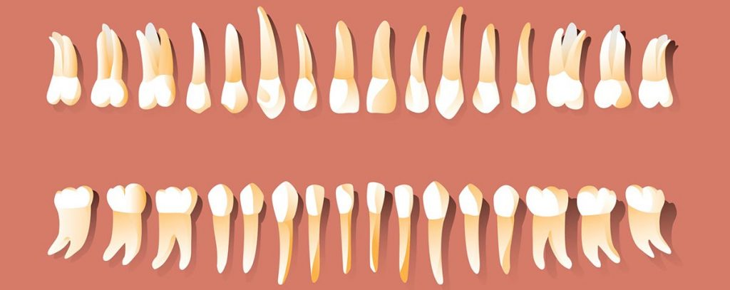 Dentition humaine